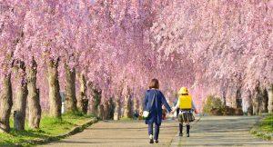 枝垂桜の並木道を歩く親子